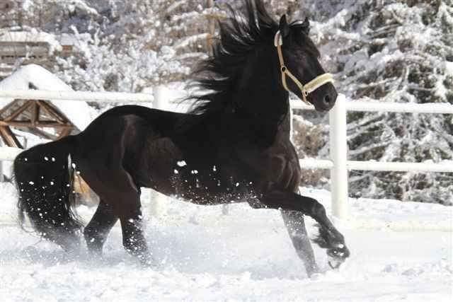 Pferde Foto: Sarah Valentina und Herre Stal de Oergong – Friesen Hengst